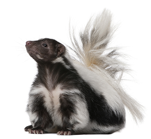 Striped Skunk - Mephitis Mephitis (5 years old)